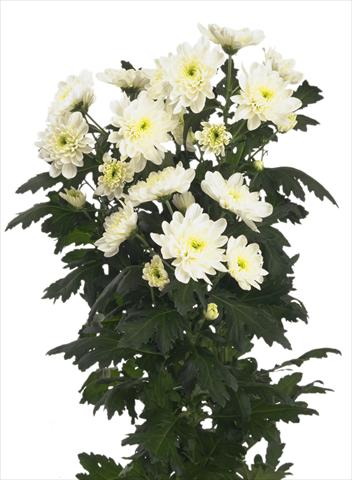 photo of flower to be used as: Cutflower Chrysanthemum Zembla