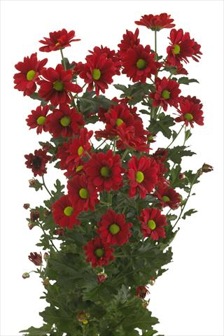 photo of flower to be used as: Cutflower Chrysanthemum Cayenne