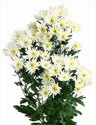 photo of flower to be used as: Cutflower Chrysanthemum Delianne