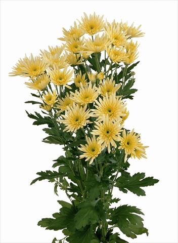 photo of flower to be used as: Cutflower Chrysanthemum Delianne Yellow