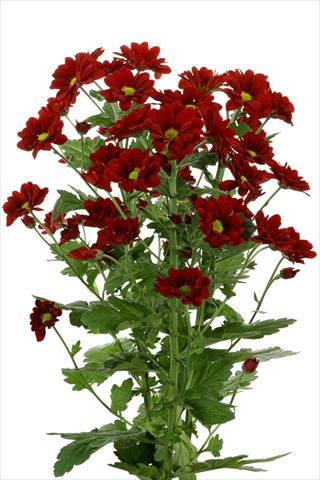 photo of flower to be used as: Cutflower Chrysanthemum Managua Red