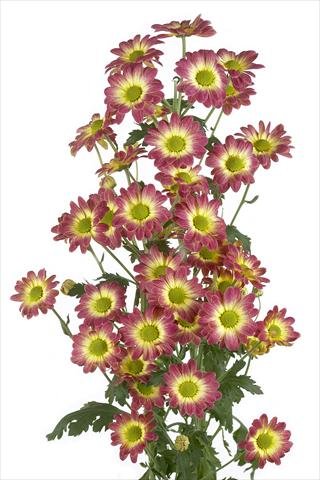 photo of flower to be used as: Cutflower Chrysanthemum Vulcano
