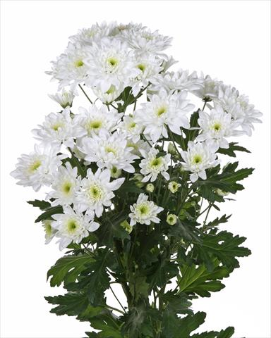 photo of flower to be used as: Cutflower Chrysanthemum Milano White