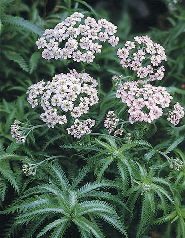 photo of flower to be used as: Bedding / border plant Achillea sibirica Love Parade