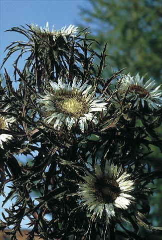 photo of flower to be used as: Bedding / border plant Carlina acaulis Bronze