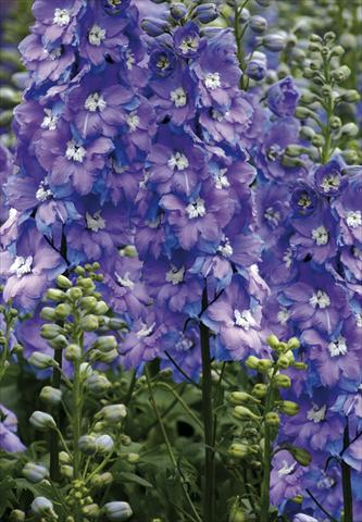 photo of flower to be used as: Bedding / border plant Delphinium elatum New Millennium Series Morning Lights