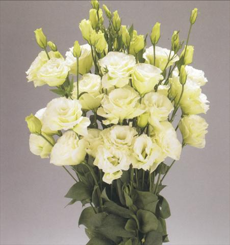 photo of flower to be used as: Cutflower Lisianthus (Eustoma rusellianum) Advantage Green
