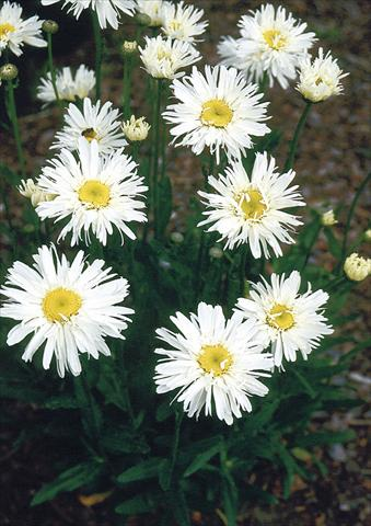 photo of flower to be used as: Pot, bedding, patio, basket Chrysanthemum maximum Snowdrift