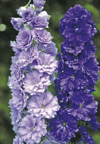 photo of flower to be used as: Bedding / border plant Delphinium elatum New Millennium Series Misty Mauves