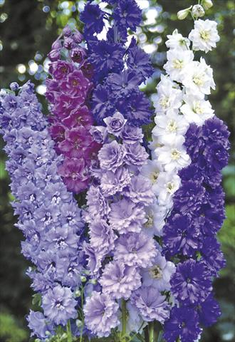 photo of flower to be used as: Bedding / border plant Delphinium elatum New Millennium Series Double Stars