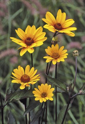 photo of flower to be used as: Bedding / border plant Heliopsis helianthoides Summer Nights