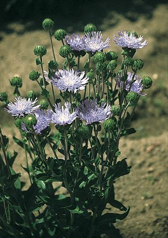 photo of flower to be used as: Bedding / border plant Stokesia laevis Omega Skyrocket