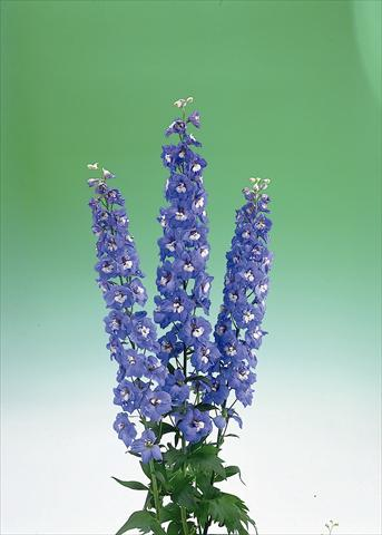 photo of flower to be used as: Cutflower Delphinium elatum Aurora F1