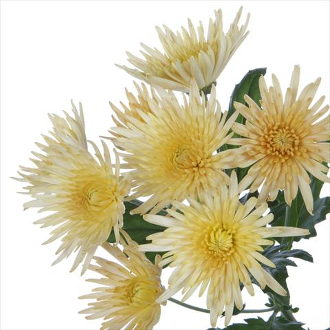 photo of flower to be used as: Pot and bedding Chrysanthemum Anastasia Bronze