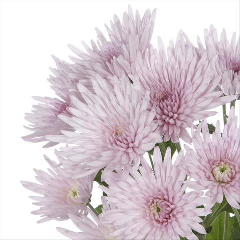 photo of flower to be used as: Pot and bedding Chrysanthemum Anastasia Pink