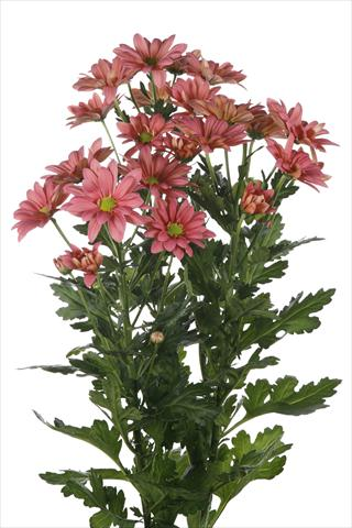 photo of flower to be used as: Pot and bedding Chrysanthemum Asenka Salmon