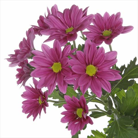 photo of flower to be used as: Pot and bedding Chrysanthemum Asenka Splendid