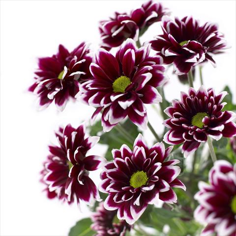 photo of flower to be used as: Pot and bedding Chrysanthemum Barletta