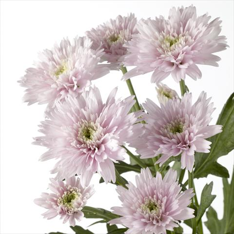 photo of flower to be used as: Pot and bedding Chrysanthemum Diantha