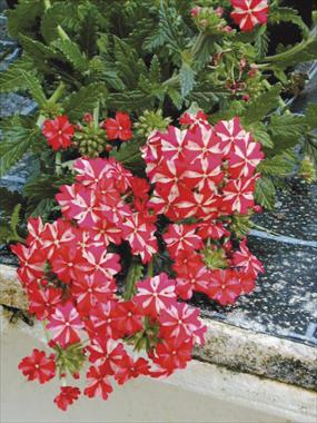 photo of flower to be used as: Basket / Pot Verbena tenera Liga® Atletico