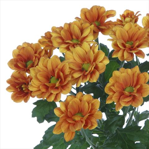 photo of flower to be used as: Pot and bedding Chrysanthemum Managua Orange