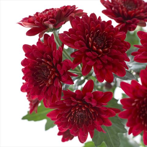 photo of flower to be used as: Pot and bedding Chrysanthemum Sienna
