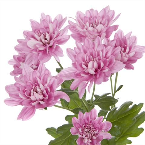 photo of flower to be used as: Pot and bedding Chrysanthemum Taormina Splendid