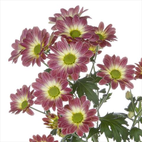 photo of flower to be used as: Pot and bedding Chrysanthemum Vulcano Dark