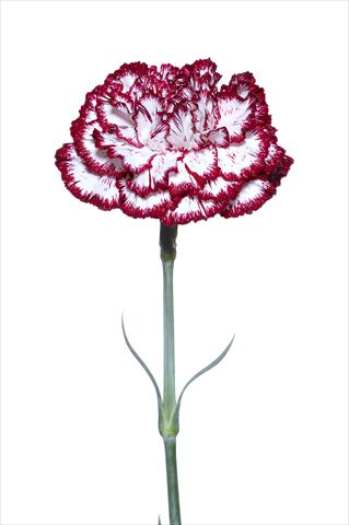 photo of flower to be used as: Cutflower Dianthus caryophyllus Palladio Bianco-Nero
