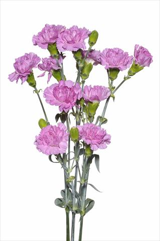 photo of flower to be used as: Cutflower Dianthus caryophyllus Sordino