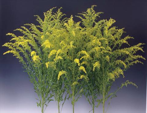 photo of flower to be used as: Bedding / border plant Solidago Knock Out