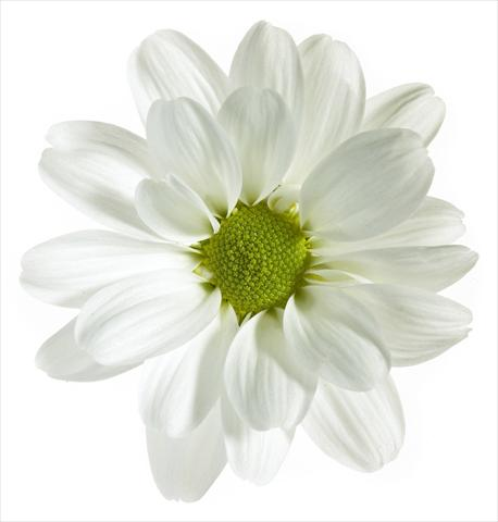 photo of flower to be used as: Pot and bedding Chrysanthemum Noa