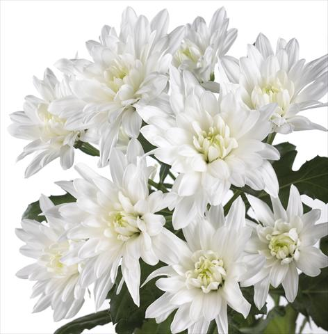 photo of flower to be used as: Pot and bedding Chrysanthemum Sella