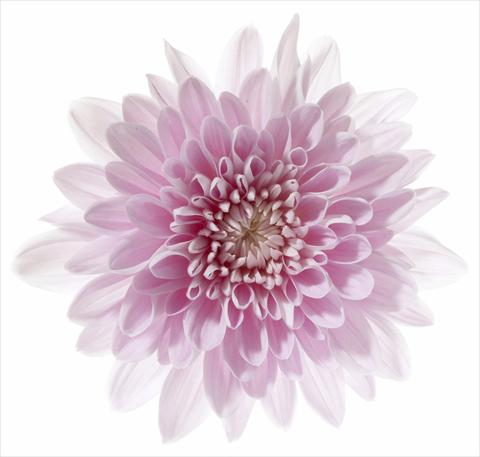 photo of flower to be used as: Pot and bedding Chrysanthemum Venice