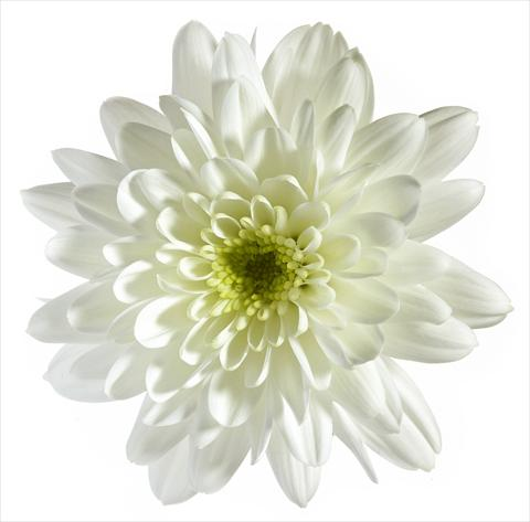 photo of flower to be used as: Pot and bedding Chrysanthemum Vigo