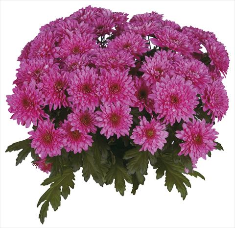 photo of flower to be used as: Cutflower Chrysanthemum Safin Purple