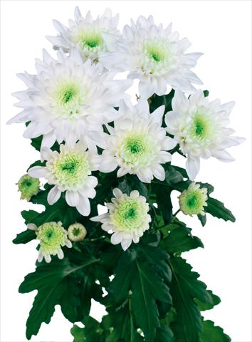 photo of flower to be used as: Cutflower Chrysanthemum Arctic Queen