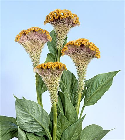 photo of flower to be used as: Pot and bedding Celosia cristata Bombay Fidor