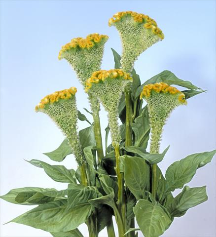 photo of flower to be used as: Pot and bedding Celosia cristata Bombay Figo