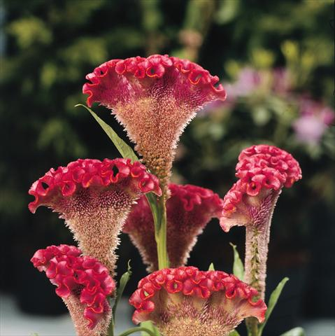 photo of flower to be used as: Pot and bedding Celosia cristata Bombay Salmon
