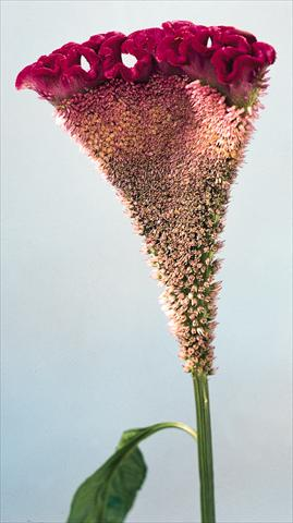 photo of flower to be used as: Pot and bedding Celosia cristata Bombay Velvet