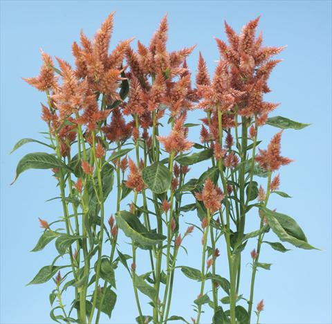 photo of flower to be used as: Pot and bedding Celosia spicata Celway Salmon