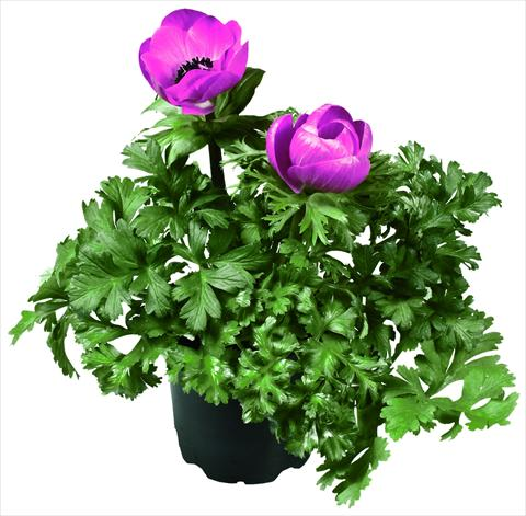 photo of flower to be used as: Pot and bedding Anemone coronaria L. Garden Mistral Plus® Fucsia