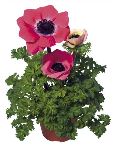 photo of flower to be used as: Pot and bedding Anemone coronaria L. Garden Mistral Plus® Rosa shocking