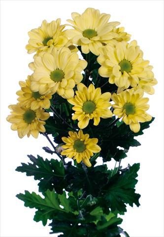 photo of flower to be used as: Pot and bedding Chrysanthemum Bacardi Cream