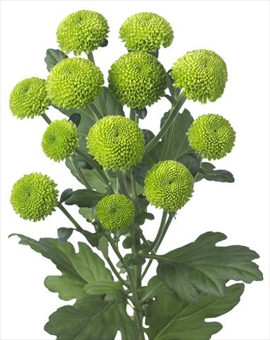 photo of flower to be used as: Pot and bedding Chrysanthemum Feeling Green Dark