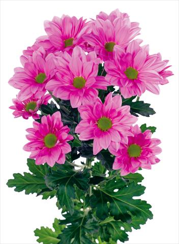 photo of flower to be used as: Pot and bedding Chrysanthemum Grand Pink