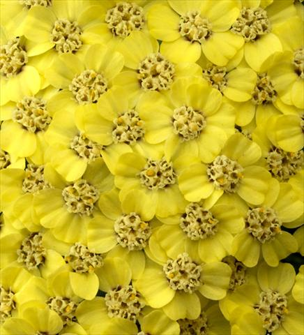 photo of flower to be used as: Bedding / border plant Achillea millefolium Desert Eve Light Yellow