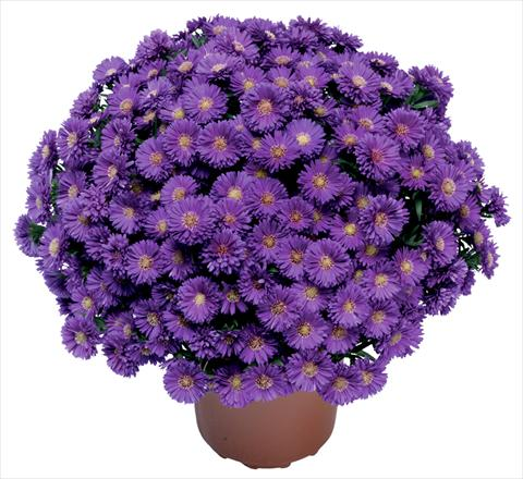photo of flower to be used as: Cutflower Aster novi belgii Magic Blu