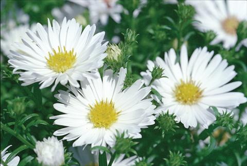 photo of flower to be used as: Cutflower Aster novi belgii Magic White